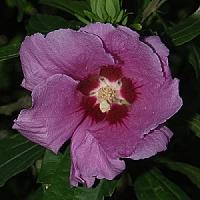 hibiscus roter hibiskus hibiscus rosa sinensis. Black Bedroom Furniture Sets. Home Design Ideas